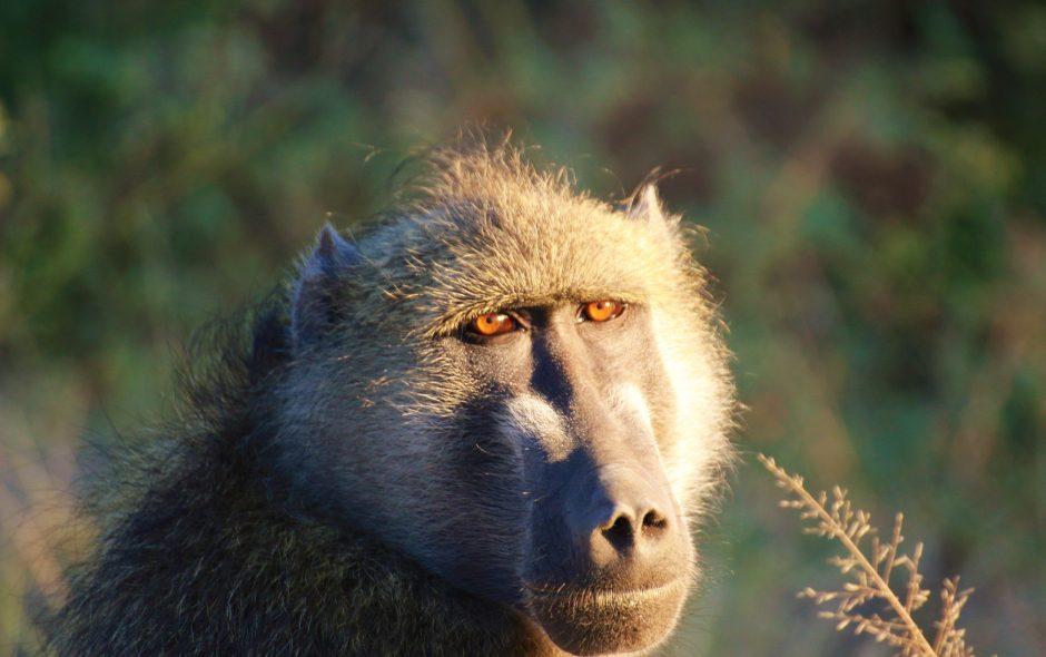Bob the baboon