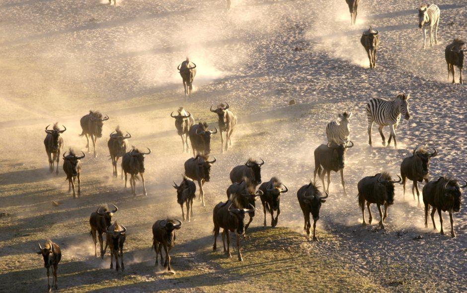 Wildlife stampeding