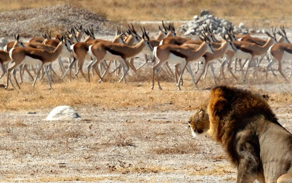 Lion choosing springbok