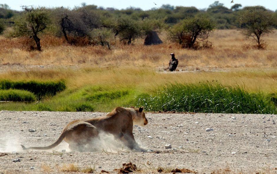 Lioness coming to hard stop, Nxai Pan