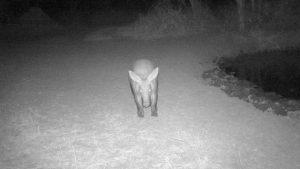 Aardvark, waterhole