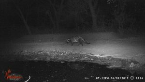 Civet, Stables Waterhole