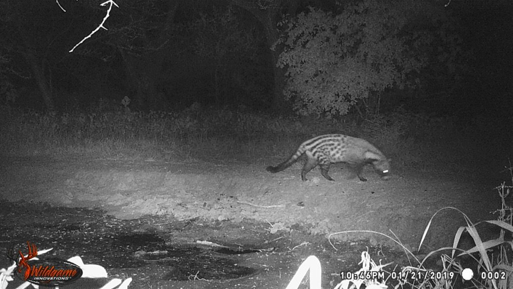 Civet - Stables Water Hole