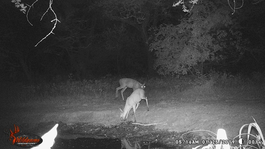 Duiker - Stables Water Hole