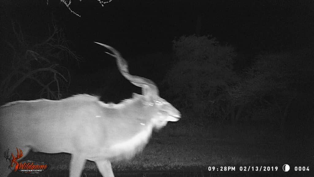 Kudu - Savannah Plains