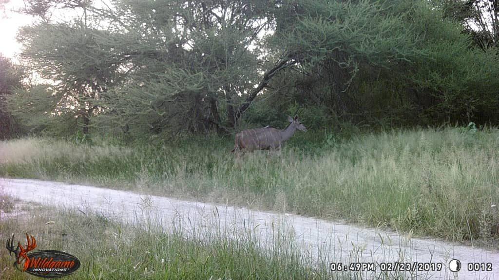 Kudu - Prestige Spur