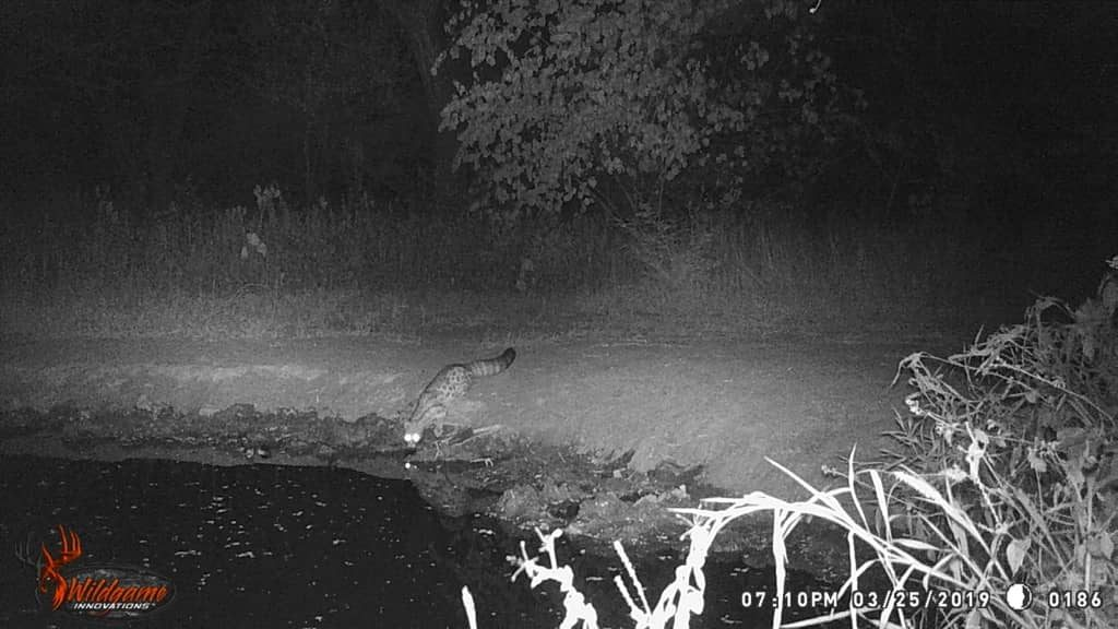 Large Spotted Genet - Stables Water Hole