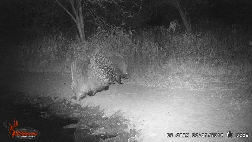 Porcupine - Stables Water Hole
